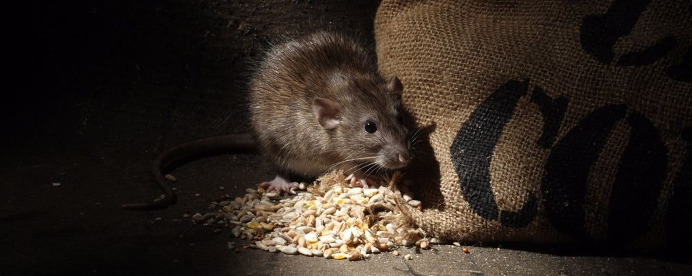 Controlling Rodents around your stables