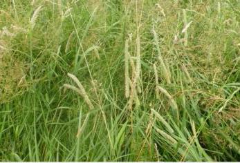Understanding Sugar in Grass