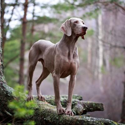 Weimaraner Silver Dog Charm Released
