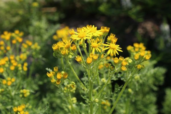 Don't poison your horse? Start digging ragwort out when it is at the rosette stage
