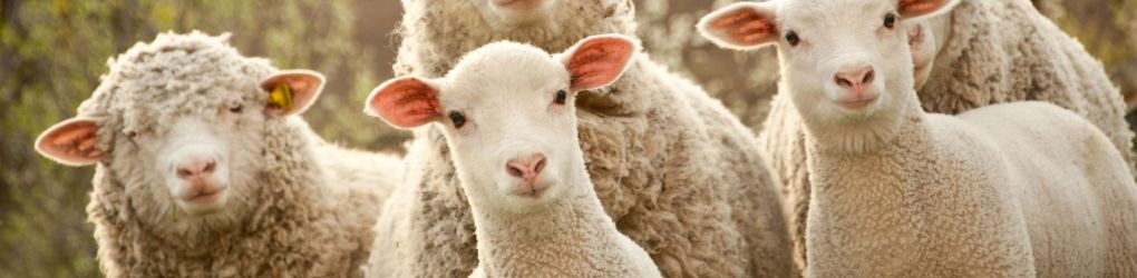 Sheep, Goats and Camelids